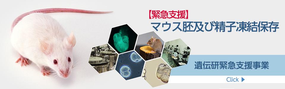 遺伝研緊急支援事業〜マウス胚及び精子凍結保存〜