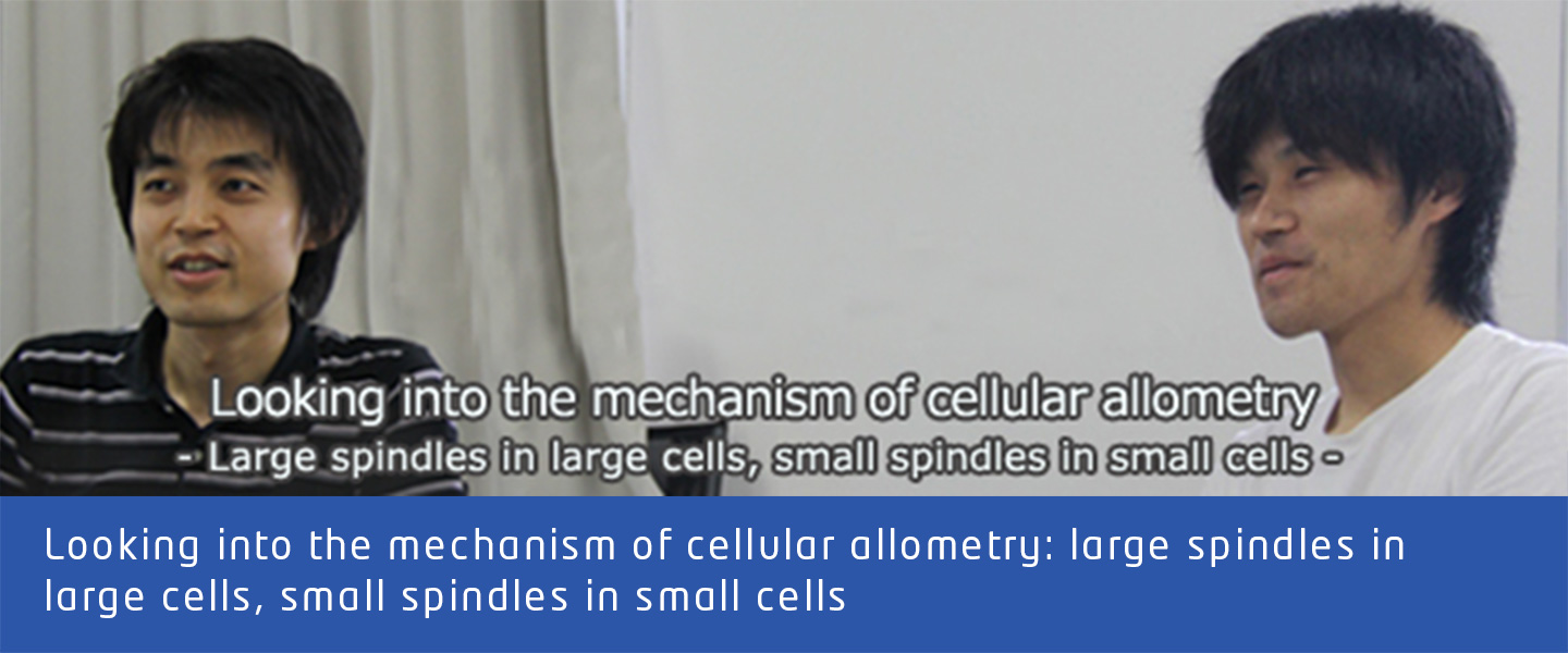 Looking into the mechanism of cellular allometry: large spindles in large cells, small spindles in small cells