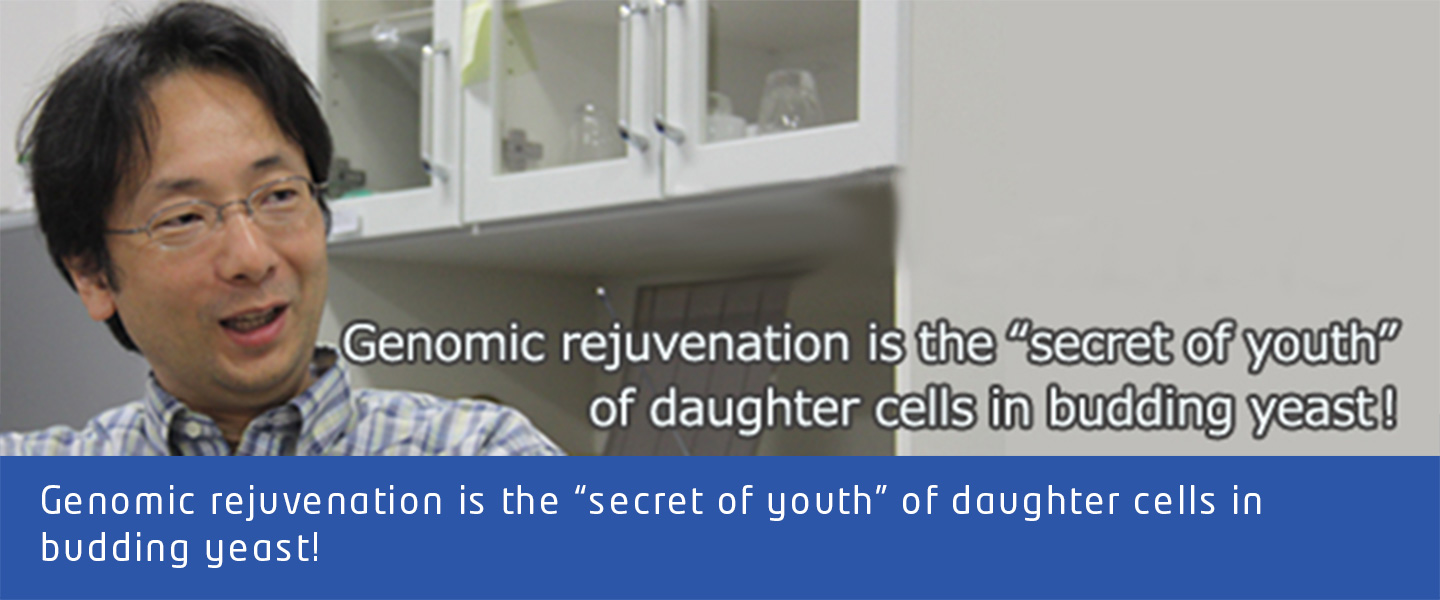 "Genomic rejuvenation is the ""secret of youth"" of daughter cells in budding yeast!"