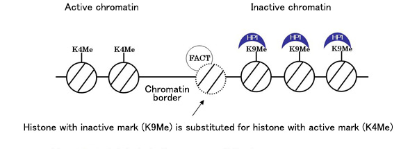 Histone replacement at a chromatin border